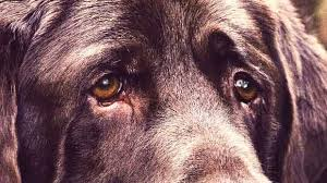 Causes Of Sudden Blindness In Dogs The Basics Of Nuclear Sclerosis In Dogs Petcarerx