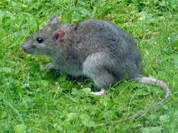 rat population surging in town neighborhoods sandwich news