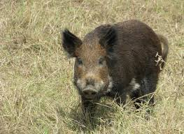 Washington wildlife images Feral pigs are on the rise in washington state nw news network jpg