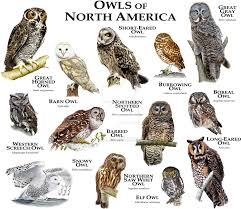 fine art illustration of some of the species of owl native to