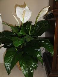 peace lily peace lily my heart u0027s mission