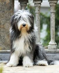 bearded collie x terrier best 25 bearded collie ideas only on pinterest bearded collie