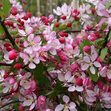 crab apple trees for sale malus mail order trees