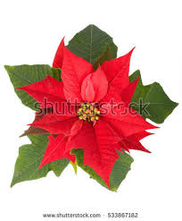 christmas flowers christmas flowers stock images royalty free images vectors