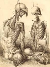 19 best human disection images on pinterest medicine drawings
