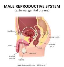 The Anatomy Of The Male Reproductive System Female Reproductive System Median Section Stock Illustration