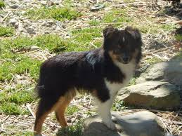 australian shepherd 14 weeks australian shepherd puppies for sale mini puppies for sale