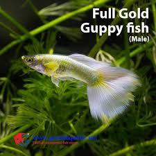 guppy fish farm for sale aquarium fish buy guppy fish aquarium