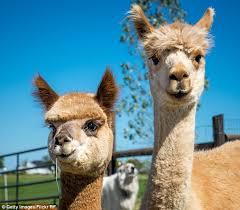 Alpaca Sheep Meme - alpaca meat is rising in popularity in australia with restaurants