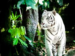 231 tiger hd wallpapers backgrounds wallpaper abyss page 3