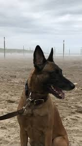 lifespan of belgian shepherd belgian malinois dog breed information pictures characteristics
