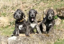 afghan hound harga irish wolfhound puppies for sale akc puppyfinder
