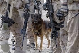 belgian shepherd diesel afghanistan dogs of war the atlantic