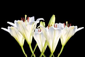 white lilies free photo lilies white lilies blossom free image on pixabay