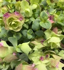 oregano origanum rotundifolium 15 seeds