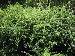 fukien tea plant richard lyons nursery inc