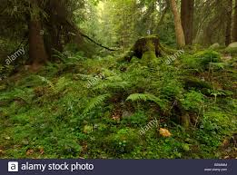 ferns in deep forest with trunks in background stock photo