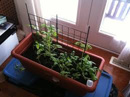 Winter Indoor Garden - winter growing tomatoes how to grow tomatoes indoors
