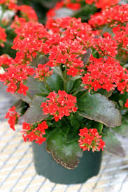 succulent house buy kalanchoe online free shipping over 99 99