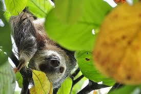 4 toed sloth herman the sloth the heathman lodge vancouver wa