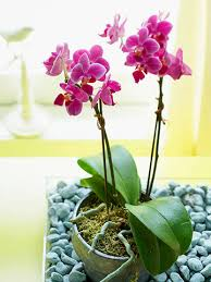 Orchid Plant How To Care For Orchids
