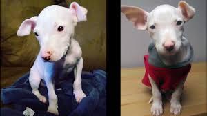zeke u0027s story victim of backyard breeding please support