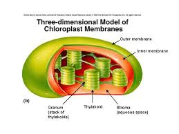 which plant cell organelle uses light energy to produce sugar quia cell organelle pictures