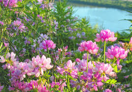 the flowers of summer at rivers flowers pink nature flower wildflowers hill summer grass