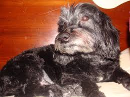 affenpinscher good bad how to keep dog smell out of your bed kol u0027s notes