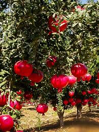 buy fruit trees the tree center