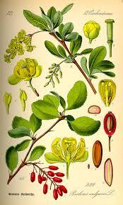 native american healing plants berberis vulgaris wikipedia