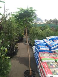 catalpa bignonioides mop top westlake nursery