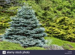 perfectly formed ornamental blue spruce picea pungens glauca