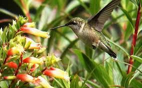 make your yard a hummingbird haven fort worth star telegram