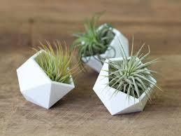 air plants tillandsia terrariums u0026 gifts air plant design studio