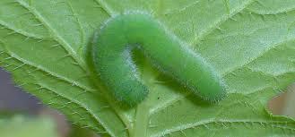 Garden Pests Identification - cabbage worm pest identification for vegetable gardens