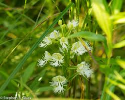 photo essay on restoration of eastern prairie fringed orchid in