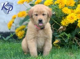 australian shepherd or golden retriever golden retriever mix u2022 keystone puppies puppies for sale in pa