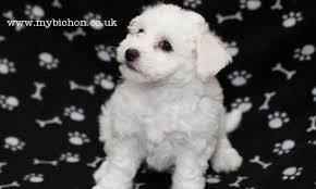 bichon frise puppy 8 weeks my bichon pictures of a bichon puppy melody