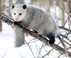 opossum symbolism a message spirit animal totems