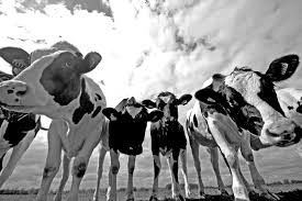 dutch black and white cows by betuwefotograaf on deviantart