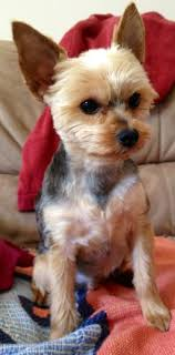 chorkie haircut styles 50 inspired cute short yorkie haircuts