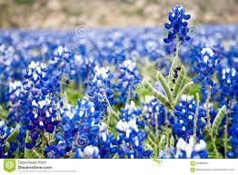 texas bluebonnet blur wildflower background stock photo image