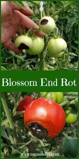 best 25 tomato farming ideas on pinterest greenhouse tomatoes