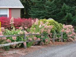 panicle hydrangeas and split rail fence gardens and outdoor