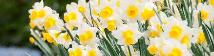 Ideas For Daffodil Varieties Design Daffodil Flower Bulbs Narcissus American Meadows