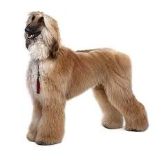afghan hound therapy dog afghan hound dog breed large dog petmania