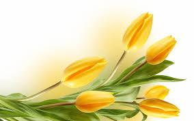 yellow tulip flower wallpaper hd desktop wallpapers 4k hd
