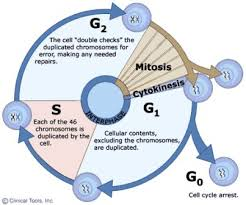 multiple choice questions on cell cycle mcq biology learning