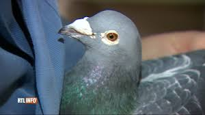 cuisine des pigeons voyageurs un homme s est offert un pigeon belge pour 360 000 euros